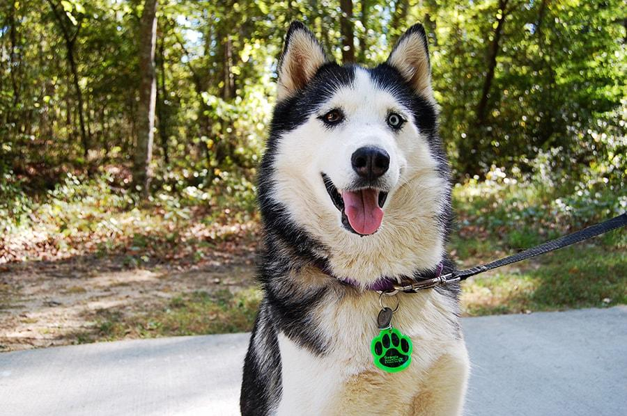 A husky dog on a leash in front of the entrance to woods.